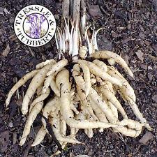 Rare Skirret- Heritage root vegetable - 20 seeds - UK SELLER