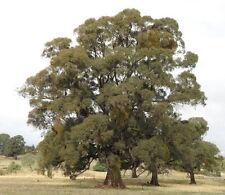 Narrow leaved Peppermint (Eucalyptus radiata) - 150 Seeds