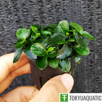 Anubias Nana Petite Freshwater Live Aquarium Plants Potted Rare Rooted Fish Tank
