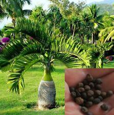 10Pcs Bottle Palm Tree Seeds Hyophorbe Lagenicaulis Exotic Plant Bonsai Tropical
