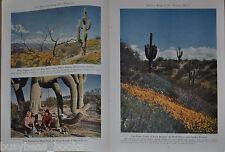 1945 SAGUARO CACTUS magazine article, color photos, Cacti, Southwest USA