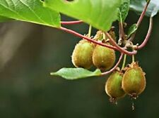 Kiwi Jenny Vine Soft Fruit 2L Pot Climbing Plant Actinidia Deliciosa Patio Plant