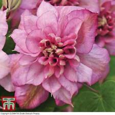 Clematis Hardy Garden Shrub Potted Plant 'Innocent Glance' 9cm Nursery Pots T&M