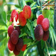 Rare MYRICA RUBRA, Yum Berry, Red Bayberry Yangmei - 5 Viable Seeds - UK SELLER