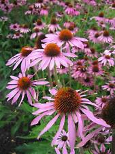 PERENNIAL FLOWER ECHINACEA CONEFLOWER PURPLE 360 FLOWER SEEDS