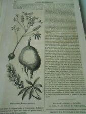 La Picquotiane botanique 1847 Gravure Print Article