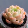 1-cut 5cm Echeveria Suryeon Succulent live Plants Rare Home Garden Flower pot