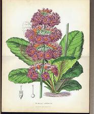 Primula Japonica - Common name:Fairy Primrose- Mackenzie & Anderson