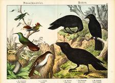 Antique Print-HUMMINGBIRD-RAVEN-CROW-ROOK-Schubert-1878