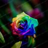 Rose 50 PCS Seeds Rainbow Flowers Bonsai 24 Colors Plants Growth Home Garden New