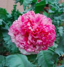 "Mohn Mohnblume ""Flemish Antique"" Samen rosa weiß Blumensamen"
