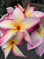 Rainbow Color Plumeria Plant Rooted 8-12 Inches Fresh And Ready To Grow