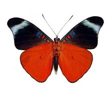 ONE REAL BUTTERFLY RED FLASHER PANACEA PERU UNMOUNTED WINGS CLOSED