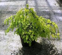 Western Hemlock, Tsuga Heterophyllia,  75 - 100cm inc Pot