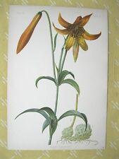 Vintage Flower Print,LILIUM CANADENSE ,Prang,1878