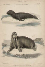 Seal Sea Bear Walrus by Landseer 1846 Antique Art Print