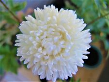 White Aster Seeds King Size Астра Кинг Сайз 0,1g