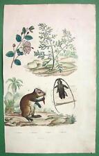 BEETLE Capricorn Caper Bush Hutia - 1836 H/C Color Natural History Print