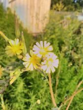 Lactuca virosa,wild prickly opium lettuce, milk thistle 50 seeds , biennial