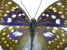 Real Butterfly/Insect Set/Spread.B3617  Purple Sasakia charonda coreana 7.5 cm