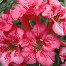Adenium~Desert Rose < OSAGA > Suit Bonsai Indoor~10 SEEDS