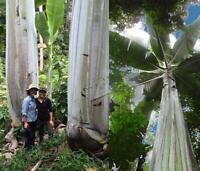 Musa Ingens Seeds - Giant Highland Banana - Musa ingens - 2 Seeds