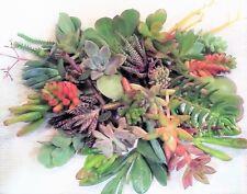 30 Healthy Fresh Large Succulent Cuttings, 30 Varieties
