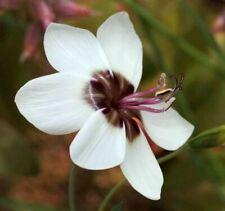 Geissorhiza tulbaghensis (Satinblumen, Wine Cup, Satin flower)/ 10 Samen, Seeds