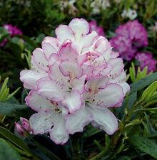 Rhododendron großblumige Hybride Picotee 30-40cm Frühlingsblüher