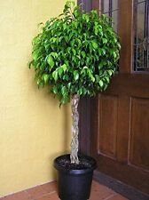 Benjamina Ficus Tree Botanical Live Plant Grows 6-10 ft Pot Outdoor Garden Yard
