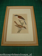 Antique framed bird print Red backed shrike / antieke vogelprent Grauwe klauwier