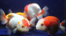 Live Red White Ranchu Med. Goldfish for fish tank, koi pond or aquarium