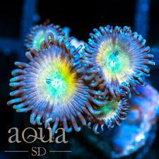 New listing Asd - 086 Magic Light Zoanthids - Wysiwyg - Aqua Sd Live Coral Frag
