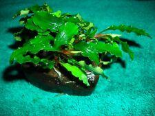 Bucephalandra Green Wavy auf Holz