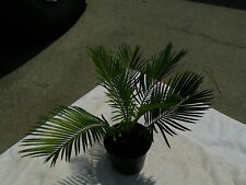 "Sago Palms   ""starter kit""  Complete grow Kit with/ instructions"