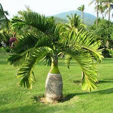 Palm Tree Bonsai Seeds Plants Ornament Evergreen Trachycarpus Garden 5pcs