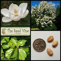 5 SOUTHERN MAGNOLIA SEEDS (Magnolia grandiflora) Evergreen Flowering Tree