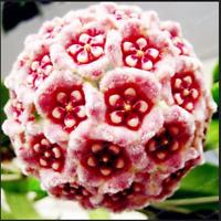 24 Color Orchid Ball Flowers Hoya Carnosa 100 Pcs Seeds  Plants Garden Bonsai N