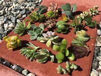 8 Assorted Varieties Live Succulent Cuttings Garden Starter Plants flower cactus