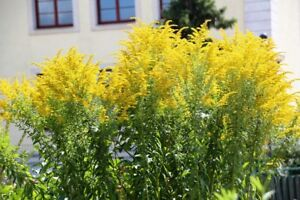 Goldrute 1000 Samen Solidago Goldraute Staude Bauerngarten gelb Färbepflanze