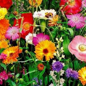 WILDBLUMEN - WILDBLUMENWIESE - Wiesenblumen Mischung ohne Gräser - ca. 500 Samen