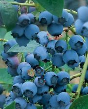 Blueberry Bush Soft Fruit Plant Vaccinium Corymbosum Goldtraube 2L Pot Outdoor