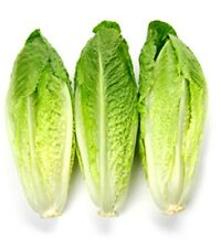 1/2 Ounce PARRIS ISLAND COS ROMAINE LETTUCE SEEDS. Heirloom USA Seeds! Non-GMO.