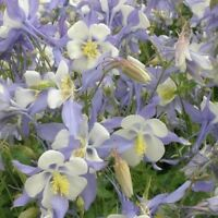 Columbine- Blue Star- 50 Seeds - BOGO 50% off SALE