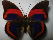 Prepona  buckleyana male