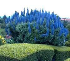Echium Fastuosum Seeds - Pride Of Madeira Plant!