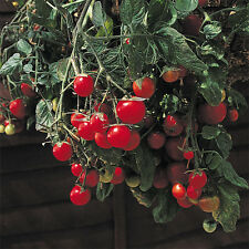 Tomate-Jardín Pearl - 25 Semillas