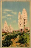 Vintage 1930's Yucca Plants in Bloom in Southern California CA Postcard