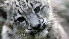 Snow Leopard Cub Playing Cat Puppy Animal Art SLC01 A3 A4 POSTER PRINT