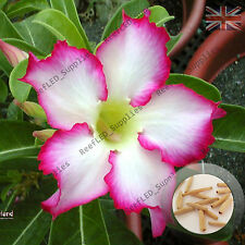 """KISS OF STAR"" Adenium Obesum DESERT ROSE 5 graines fraîches viable, ROYAUME-UNI Supply"